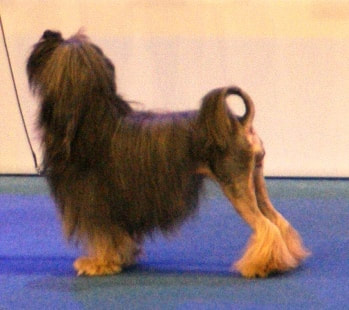 What is the Most Expensive Dog Breeds in the World - FOODY DOGS